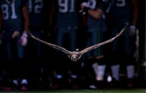 Taima the Seahawk flies from the tunnel with the players ready to follow during pregame introductions.